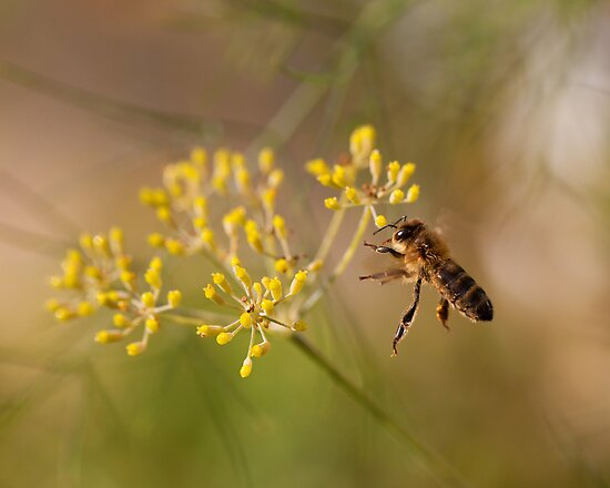 Honey bee and fennel by Rachael Talibart