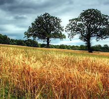 Barley Fields by johnunderwood10