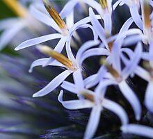 Echinops ritro by Michael G Devereux