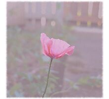 Vintage Poppy Photographic Print