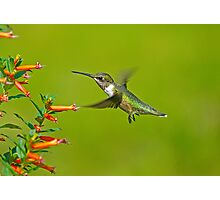 My Little BackYard Buddy (hummingbird) Photographic Print