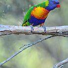 Rainbow Lorikeets. Cedar Creek, Qld,  Australia. by Ralph de Zilva