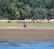 Elk at the Edge of a Lake by Callie Smith