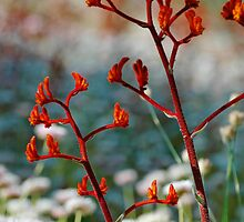 Red Kangaroo Paws 2 by Kell Rowe