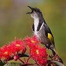 Singing Honeyeater by Ian Robertson