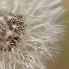 Dandelion seeds by Anne-Marie Ladegaard