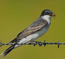 Eastern Kingbird with Wasp by photosbyjoe