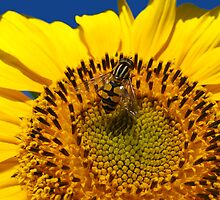 The yellow fly on a sunflower by alexmak