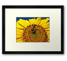 The yellow fly on a sunflower Framed Print