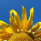 sunflower on the blue sky background by alexmak
