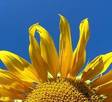 sunflower on the blue sky background by alexmak