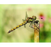 Suborder Anisoptera Photographic Print