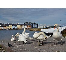 Swans at the Claddagh in Galway, Ireland  Photographic Print