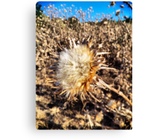 Died Thistle Canvas Print