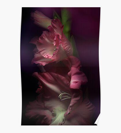 One pink Gladiola Poster