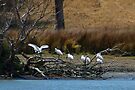 Royal Spoonbills by Yukondick