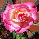 Stunning Pink Rose by MidnightMelody