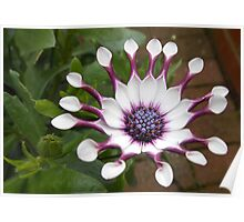 Cute Cape Daisy Ready for the Bees! Poster