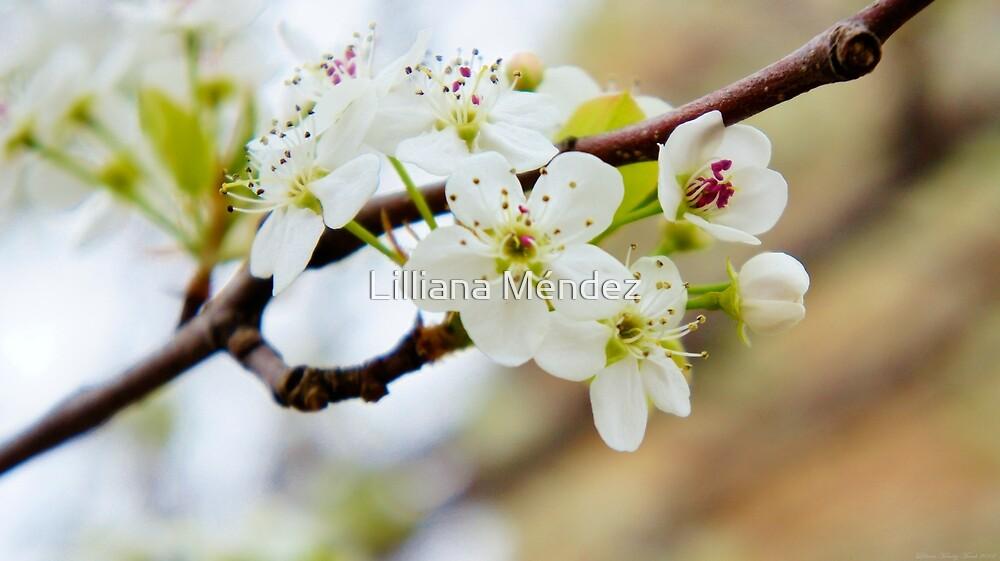 White Blossoms by Lilliana Méndez