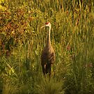 Sandhill Crane Standing on Shoreline by Thomas Murphy