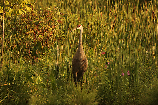 Sandhill Crane Standing on Shoreline by Thomas Murphy