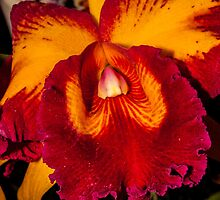Colombian Orchid 4 by duggo