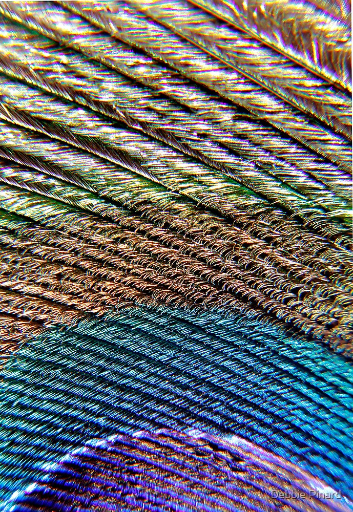 Peacock Feather Macro by Debbie Pinard