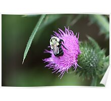 Bee on Thistle - Dunrobin Ontario Poster