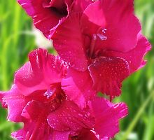 Pink Gladiolus by Evelyn Laeschke
