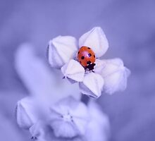 Blue Dream ~ Sleeping Ladybug by syoung-photo