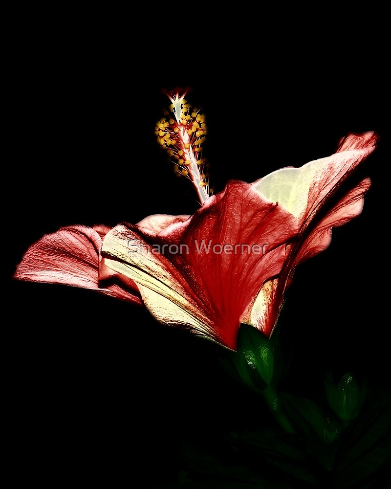 Candlelight Hibiscus by Sharon Woerner