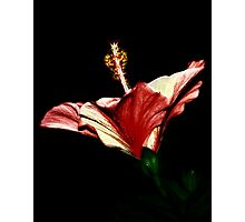 Candlelight Hibiscus Photographic Print