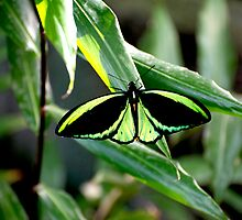 Cairns Birdwing by GP1746