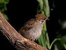 Tree sparrow by Peter Wiggerman