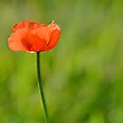 orange poppy by Glenda Williams