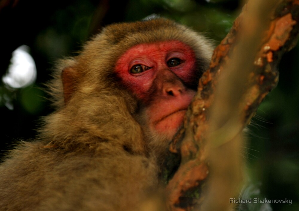 Pensive Snow Monkey by Richard Shakenovsky