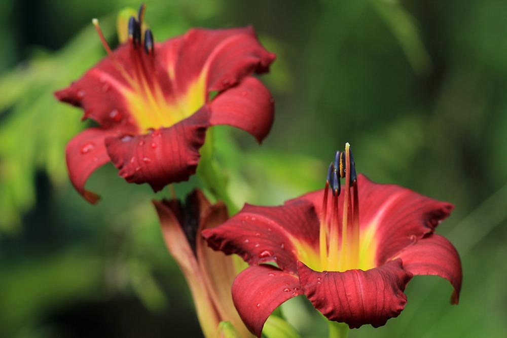 The Daylilies by Lynn Gedeon