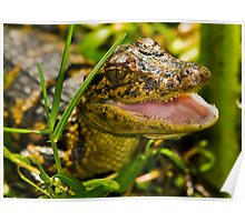 Gator in the Grass Poster