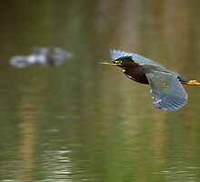 Green Heron & Gator by William C. Gladish