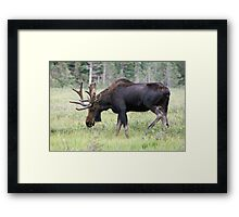 Long Lake moose Framed Print
