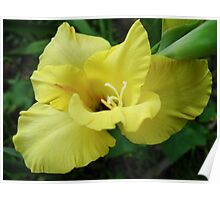 a beautiful flower of gladiolus Poster