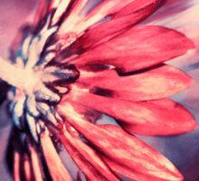Glowing Pink Chrysanthemum Sticker
