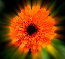 Orange Marigold by Paula J James