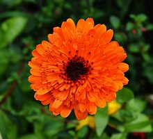 Natural Orange Marigold by Paula J James