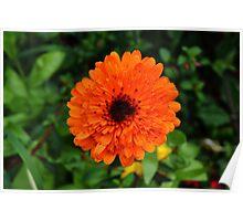 Natural Orange Marigold Poster