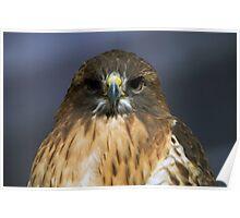 Close-up, red-shouldered hawk Poster