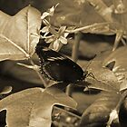Sepia Butterfly On a Leaf by ThinkPics