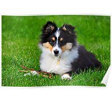 A shetland sheepdog puppy Poster