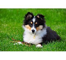 A shetland sheepdog puppy Photographic Print