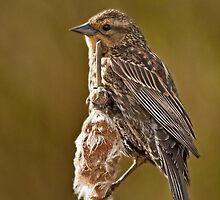 Redwing Blackbird, female by BCkat
